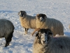 Swaledale Ewes Dec 2010