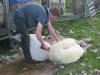 Ant the hairdresser ( Sheep only :-)