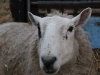 Patch the pet sheep